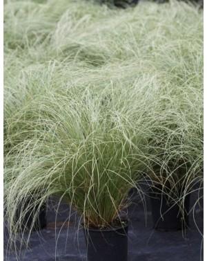 Карекс /Carex comans Amazon...