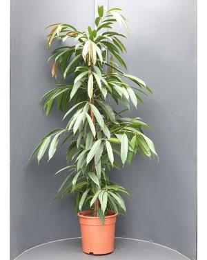 Фикус Али /Ficus...