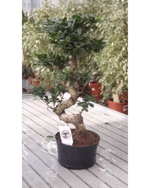 Фукус бонсай /Ficus bonsai /