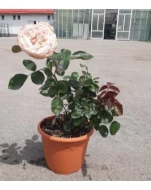 Роза градинска