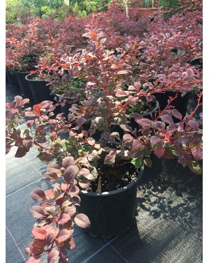 Berberis th. Atropurpurea...